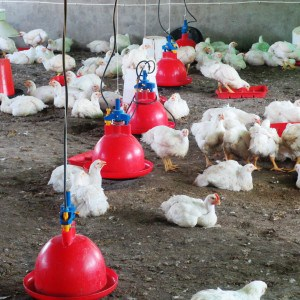 Thuthukani chicken farming