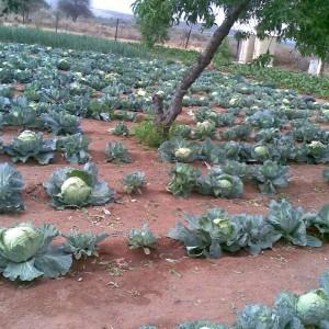 Vukuzakhe cabbages